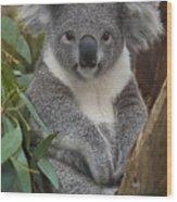 Koala Phascolarctos Cinereus Wood Print by Zssd