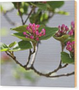 Korean Spice Viburnum Wood Print