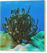 Kosrae Crinoid Wood Print