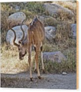 Kudu Near A Waterhole In Living Desert Zoo And Gardens In Palm Desert-california  Wood Print