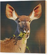 Kudu Portrait Eating Green Leaves Wood Print