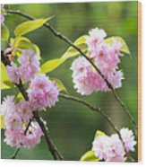 Kwanzan Cherry Bossom Flowers Wood Print