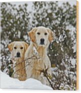 Labrador's In Snow Wood Print
