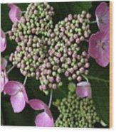 Lacecap Hydrangea Macro Wood Print