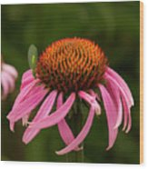 Lacewing On Echinacea Blossom Wood Print