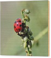 Lady Beetle Wood Print