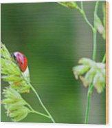 Lady Bird On A Herb Straw Close Up Wood Print