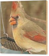 Lady Cardinal  Wood Print