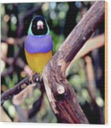 Lady Gouldian Finch Wood Print