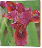 Lady In Red Iris Wood Print