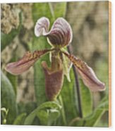 Lady Slipper 2 Wood Print
