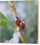 Ladybug Beetles Mating Near Aphids    Spring    Indiana Wood Print