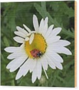 Ladybug On Daisy Wood Print