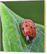 Ladybug With Dew Drops Wood Print