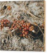 Ladybugs En Masse Wood Print