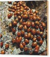 Ladybugs Wood Print