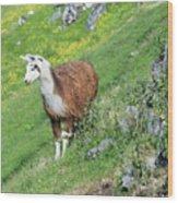 Lama In Geiranger Wood Print