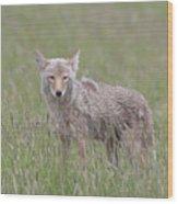 Lamar Valley Coyote Wood Print