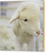 Lamb At Denver Stock Show Wood Print
