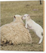 Lamb Jumping On Mom Wood Print