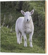 Lamb On The Isle Of Skye Wood Print