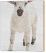 Lamb Standing Wood Print