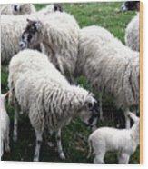 Lambs And Sheep Wood Print