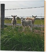 Lambs Behind The Wire Wood Print