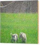 Lambs In A Sea Of Green Wood Print