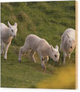 Lambs On The Meadow Wood Print