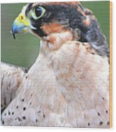 Lanner Falcon Wood Print