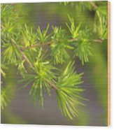 Larch Branch And Foliage Wood Print