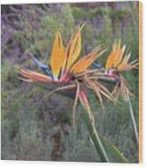 Large Bird Of Paradise Flower In Full Bloom  Wood Print