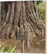 Large Cypress Tree Trunk In Carmel Mission-california  Wood Print