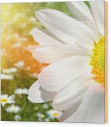 Large Daisy In A Sunlit Field Of Flowers Wood Print by Sandra Cunningham