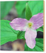 Large Flower Trillium Wood Print