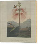 Large Flowering Sensitive Plant Wood Print by Robert John Thornton