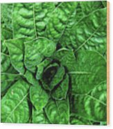 Large Green Display Of Concentric Leaves Wood Print