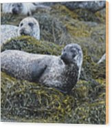 Large Harbor Seal Colony In Scotland Wood Print
