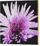 Large Purple Chrysanthemum-1 Wood Print