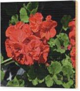 Large Red Begonia Bloom Wood Print