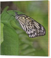 Large White Tree Nymph Butterfly On Green Foliage Wood Print