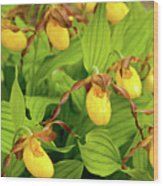 Large Yellow Lady's Slipper  Wood Print