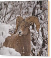Late Winter Big Horns Wood Print