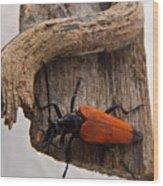 Laughing Beetle Wood Print