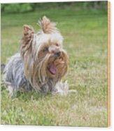 Laughing Yorkshire Terrier Wood Print