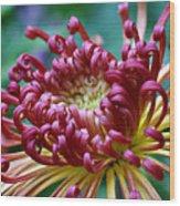 Lava Chrysanthemum Wood Print