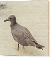 Lava Gull, Leucophaeus Fuliginosus,santa Cruz Island In Galapag Wood Print