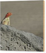 Lava Lizard On Lava Rock Wood Print