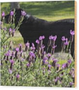 Lavender And Black Lab Wood Print
